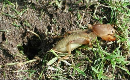 mole_crickets_in_zoysia_grass