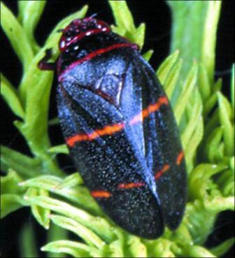 spittlebug_in_zoysia_grass